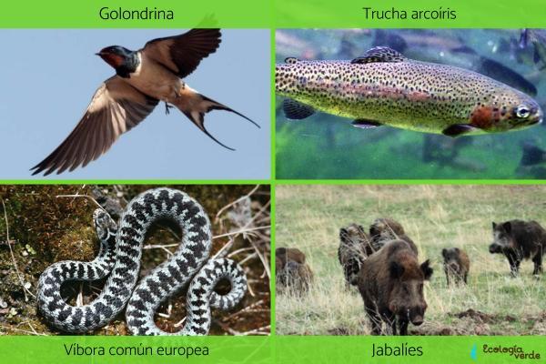 Clima Atlántico: qué es, características, flora y fauna - Fauna del clima Atlántico