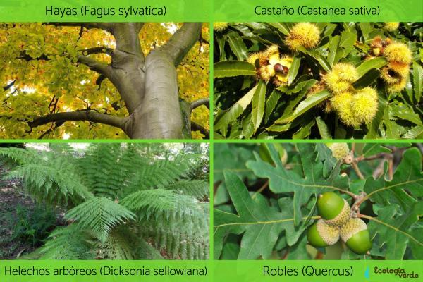 Clima Atlántico: qué es, características, flora y fauna - Flora del clima Atlántico