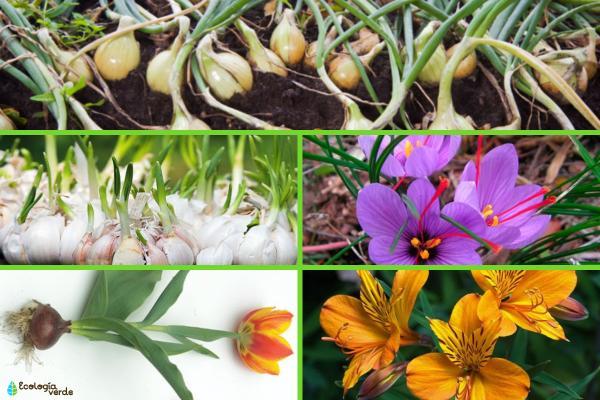 Bulbos: qué son y ejemplos - Ejemplos de plantas con bulbos