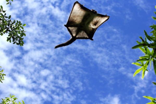 Cuáles son los animales mamíferos voladores