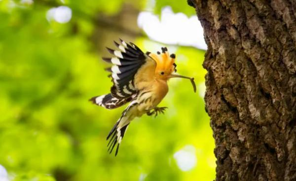 Remedios caseros para la procesionaria del pino - El control biológico de la oruga procesionaria del pino es el mejor remedio