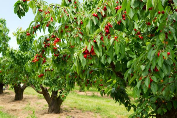 Podar un cerezo: cuándo y cómo hacerlo - Cuándo podar un cerezo