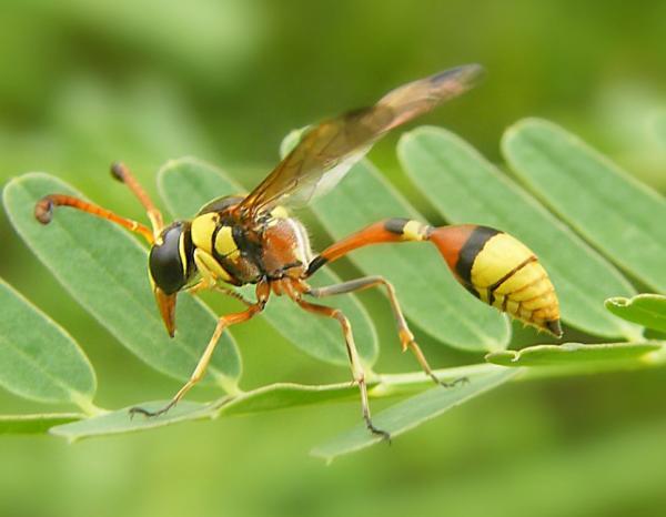 Avispa alfarera: cómo es, nido y picadura - Qué pasa si te pica una avispa alfarera