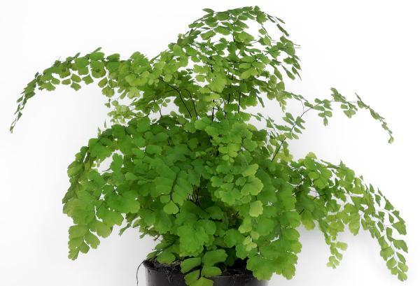 16 plantas pequeñas - Adiantum raddianum o culantrillo