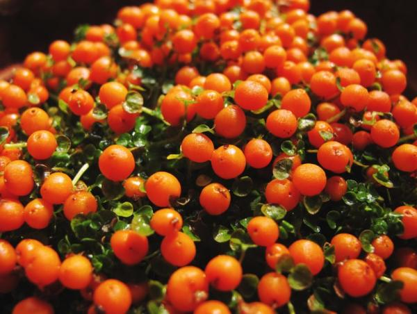 16 plantas pequeñas - Nertera