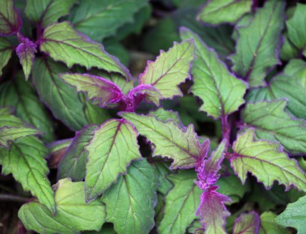 16 plantas pequeñas - Ortiga de terciopelo o Gynura