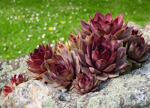 16 plantas pequeñas - Sempervivum