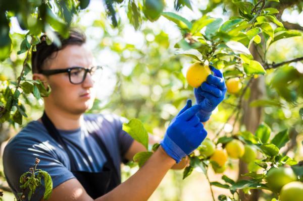 Hojas amarillas en el limonero: causas y cómo salvarlo - Cómo salvar un limonero con hojas amarillas