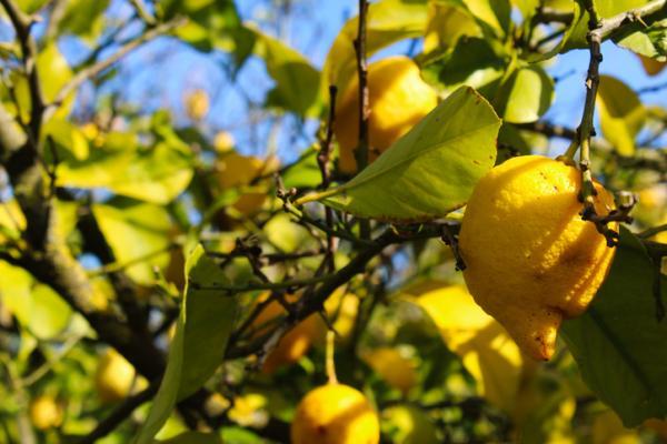 Hojas amarillas en el limonero: causas y cómo salvarlo - Hojas amarillas por falta de nitrógeno