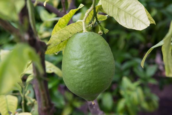 Hojas amarillas en el limonero: causas y cómo salvarlo - Hojas amarillas por falta de zinc