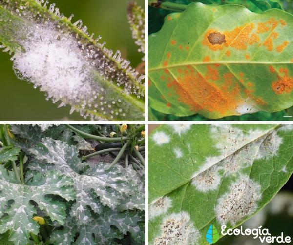 Plagas y enfermedades de las plantas: listas y cómo eliminarlas - Enfermedades de las plantas - las más comunes