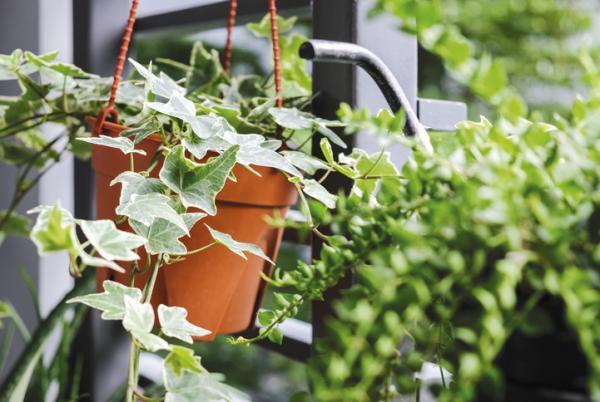 Plantas que absorben la humedad - Hiedra inglesa