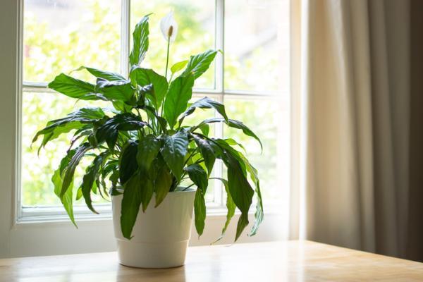 Plantas que absorben la humedad - Lirio de la paz