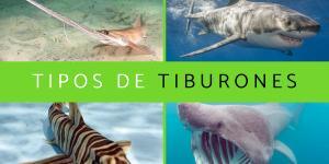 Tipos de tiburones: cuántos hay y especies