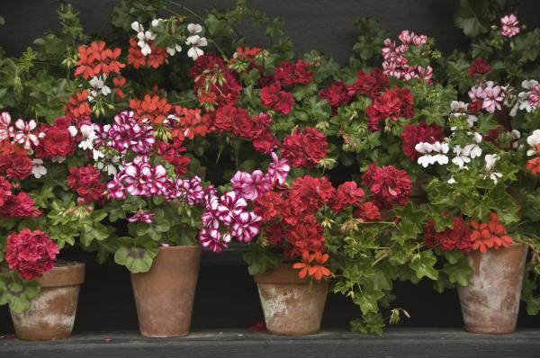 11 plantas que florecen todo el año - Geranio: flores coloridas todo el año