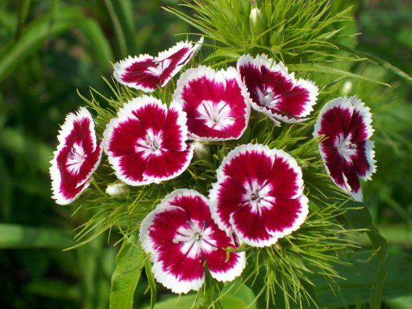 11 plantas que florecen todo el año - La calvelina, una planta que florece todo el año