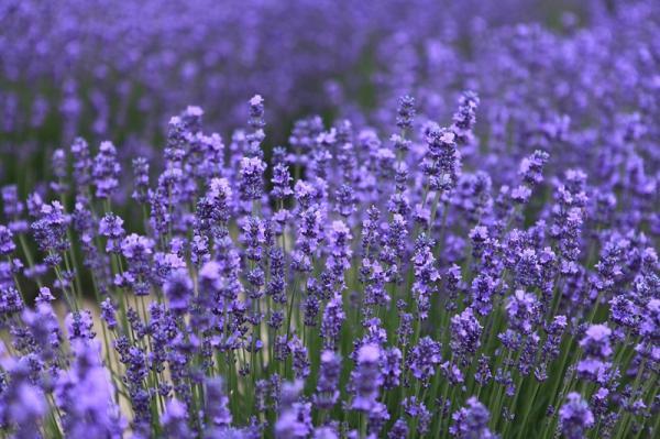 11 plantas que florecen todo el año - La lavanda