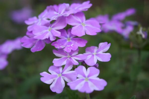 11 plantas que florecen todo el año - La verbena, flores de colores para todo el año