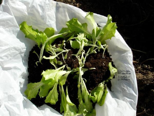 Sembrar lechuga: cómo y cuándo hacerlo - Cómo trasplantar un plantel de lechuga