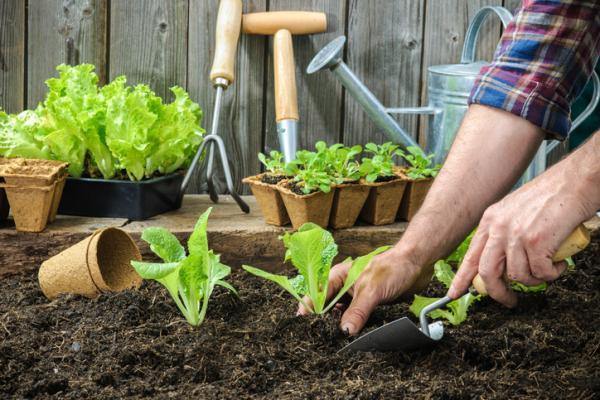 Sembrar lechuga: cómo y cuándo hacerlo - Cuándo sembrar lechuga