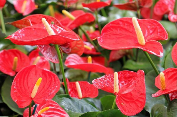 Plantas de la buena suerte según el Feng Shui - Anthurium o anturio