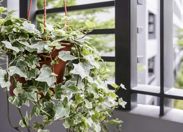Plantas de la buena suerte según el Feng Shui - Toxicodendron radicans o hiedra inglesa