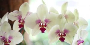 Orquídea Phalaenopsis: cuidados