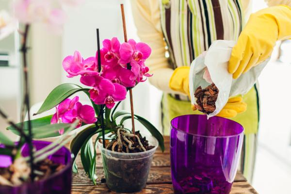 Orquídea Phalaenopsis: cuidados - Orquídea Phalaenopsis: cuidados básicos