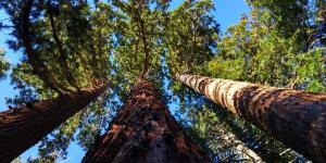 Árboles en peligro de extinción