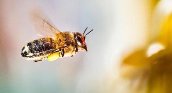 La importancia de las abejas - El declive de las abejas