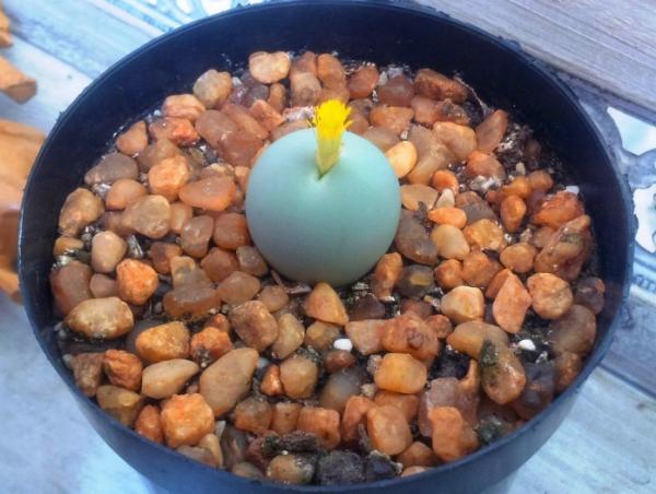 Suculentas con flores: nombres, características y fotos - Cactus piedra viva (Conophytum calculus)