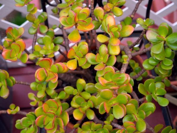 Suculentas con flores: nombres, características y fotos - Planta de jade (Crassula ovata)