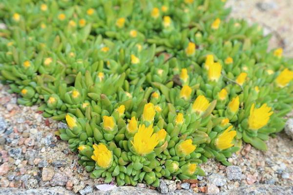 Suculentas con flores: nombres, características y fotos - Sigilosa arbustiva (Delosperma basuticum)