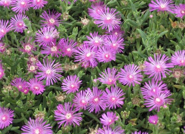 Suculentas con flores: nombres, características y fotos - Uña de gato (Lampranthus spectabilis)