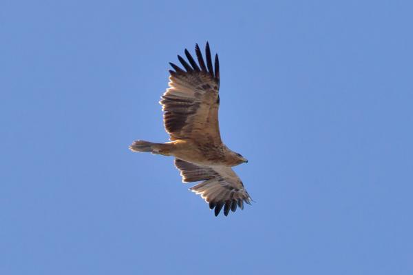 32 animales en peligro de extinción en España - Águila imperial ibérica