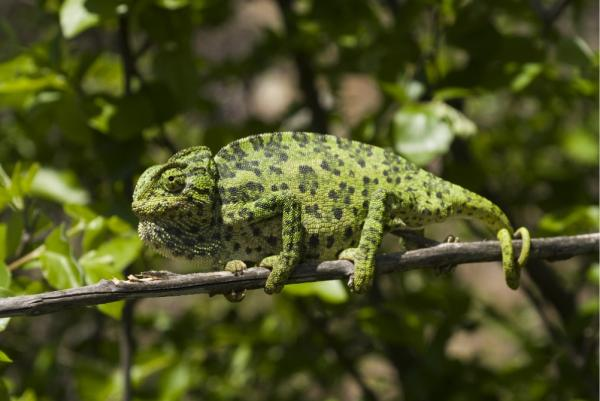 32 animales en peligro de extinción en España - Camaleón común