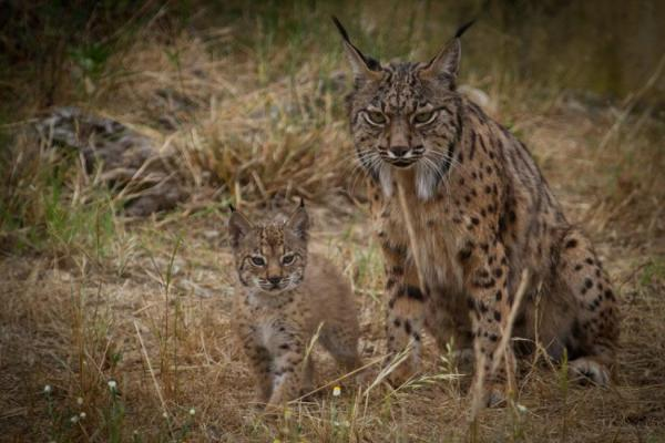 32 animales en peligro de extinción en España - Lince ibérico, uno de los principales animales en peligro de extinción en España