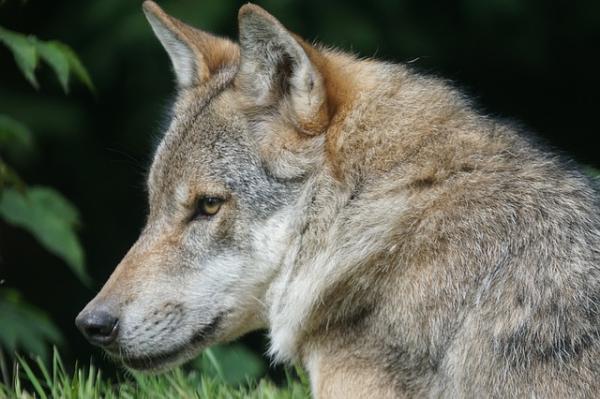 32 animales en peligro de extinción en España - Lobo ibérico