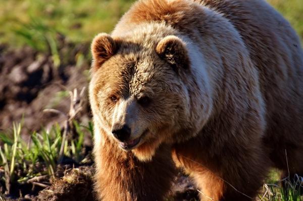 32 animales en peligro de extinción en España - Oso pardo europeo