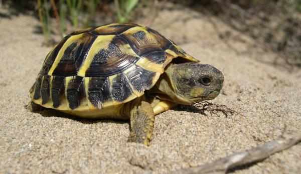 32 animales en peligro de extinción en España - Tortuga mediterránea