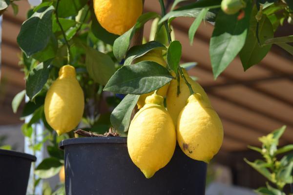 Cómo plantar un limonero - Cuánto tiempo tarda en crecer un limonero