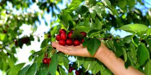 Cómo plantar un cerezo