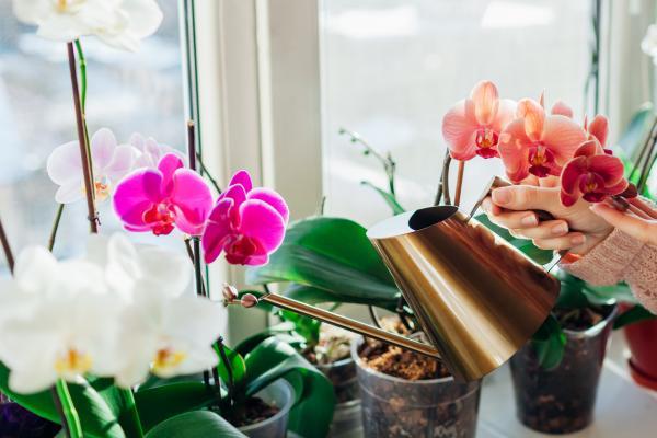 Floración de las orquídeas - Cuidados de las orquídeas en floración