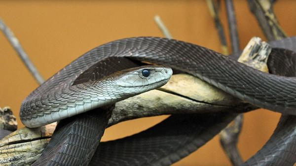Cuáles son los animales más venenosos del mundo - Mamba negra