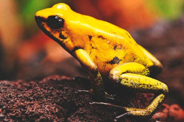 Cuáles son los animales más venenosos del mundo - Rana punta de flecha dorada
