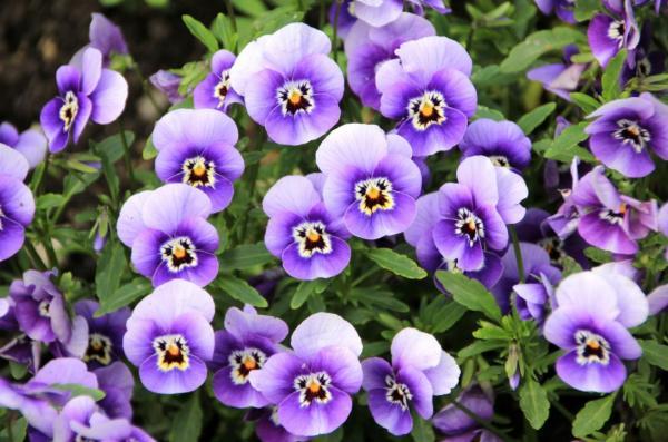 Flor pensamiento: cuidados - Riego de la flor pensamiento