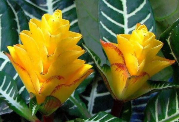 Plantas en peligro de extinción en Ecuador - Aphelandra azuayensis
