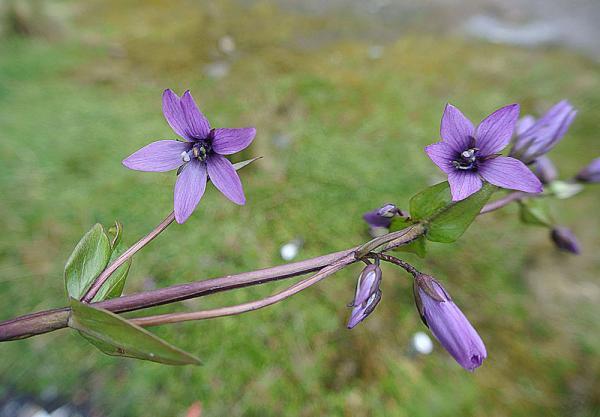 Plantas en peligro de extinción en Ecuador - Gentianella jamesonii