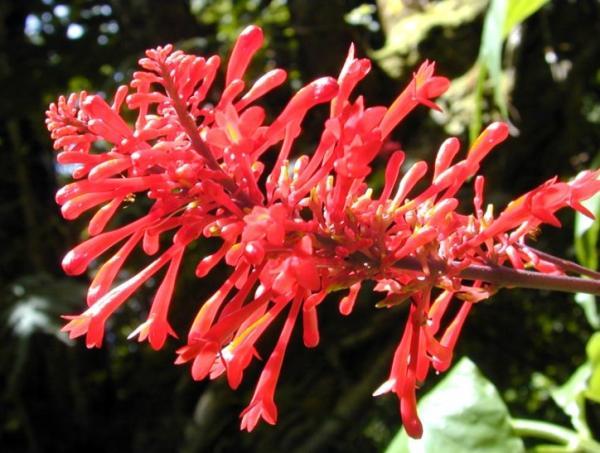 Plantas en peligro de extinción en Ecuador - Psilanthele eggersii