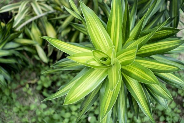Plantas ornamentales: qué son, tipos, nombres e imágenes - Tipos de plantas ornamentales de interior - nombres
